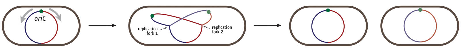 Cell division cycle of a bacterium such as *E. coli*. Cells harbour a single circular chromosome which contains a single replication origin called *oriC*. Two replication forks are recruited and duplicate the chromosome in opposite directions, thereby dividing the chromosome into a clockwise (red) and counterclockwise (blue) half or replichore. Once replication is complete the two chromosomes can be segregated into the two daughter cells.